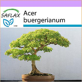 Saflax - 30 seeds - Bonsai - Three Toothed Maple - Erable trident - Acero tridente - Arce tridente - B - Dreispitzahorn