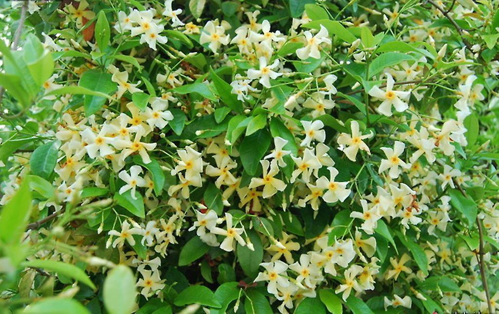 Trachelospermum asiaticum Mandanianum - Chinese Jasmine,Plant in 9cm Pot