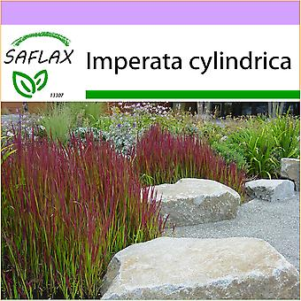 Saflax - 50 seeds - Cogongrass - Impérate cylindrique - Erba del sangue giapponese - Hierba sangrienta japonesa - Japanisches Blutgras