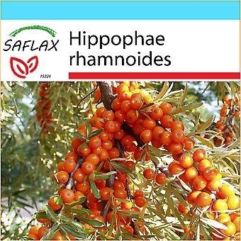 Saflax - Gift Set - 40 seeds - Sea Buckthorn - Argousier - Olivello spinoso - Espino amarillo  - Sanddorn