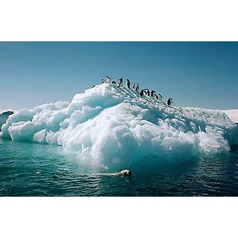 Leopard Seal circles Adelie Penguins on ice floe Hope Bay Antarctica Poster Print by Tui De Roy