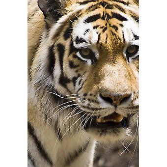 Tiger PosterPrint