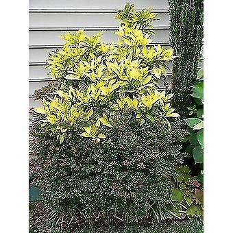 Aucuba japonica Goldstrike - Spotted Laurel Plant in 9cm Pot
