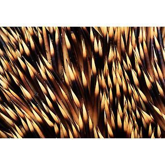 Brown-breasted Igel Detail der Stacheln Europa Poster Print von Flip De Nooyer