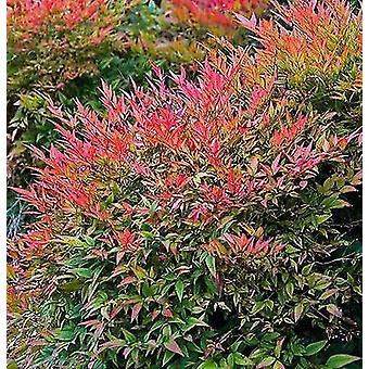 Nandina domestica Golf Stream - Sacred/Heaven Bamboo - Plant in 9cm Pot