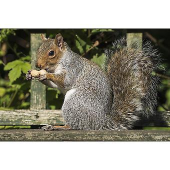 Squirrel holding a shelled peanut Gateshead Tyne and Wear England PosterPrint