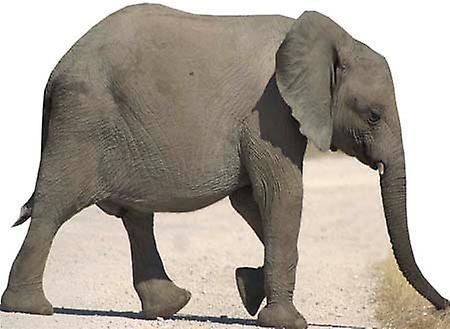Baby Elephant - cartone Lifesize ritaglio / Standee