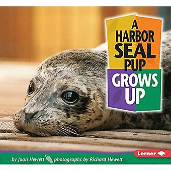 En Harbor Seal Pup växer upp