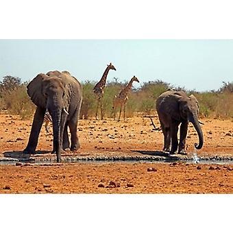 Elefanter og sjiraffer Etosha Namibia Poster trykk av Kymri vil