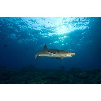 Whitetip reef shark full body view with sunset Fathers reef Kimbe Bay Papua New Guinea Poster Print