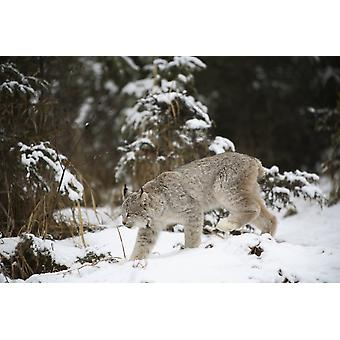 Lynx In The Snow PosterPrint