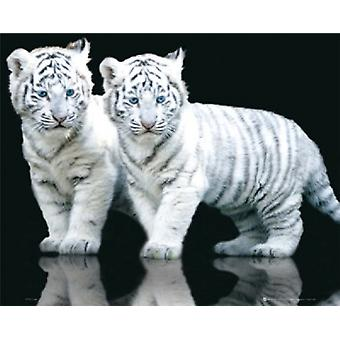 White Tiger Cubs Poster Poster Print