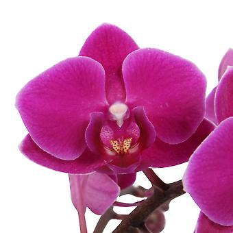 Choix de Green - 1 Orchidée blanche Grandi ou orchidée papillon