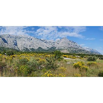 Flowering broom Biokovo Mountain Makarska Riviera Dalmatia Croatia Poster Print