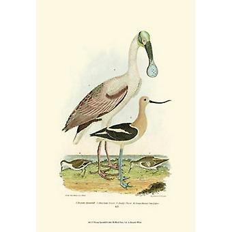 Roseate Spoonbill Poster Print by A Wilson (13 x 19)