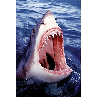 Great White Shark Poster Poster Print