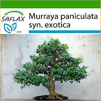 Saflax - 12 seeds - With soil - Bonsai - Orange Jasmin - Oranger jasmin - Murraya - Naranjo jazmín - B - Orangen-Jasmin