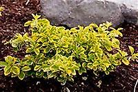 Euonymus fortunei Emerald n Gold - Spindle, Plant in 9cm Pot