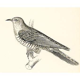 The Common Cuckoo Cuculus canorus From The National Encyclopaedia published c1890 PosterPrint