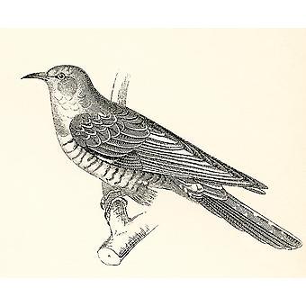 Der gemeinsamen Kuckuck Cuculus Canorus von The National Enzyklopädie veröffentlicht c1890 PosterPrint