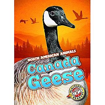 Canada Geese (North American Animals)