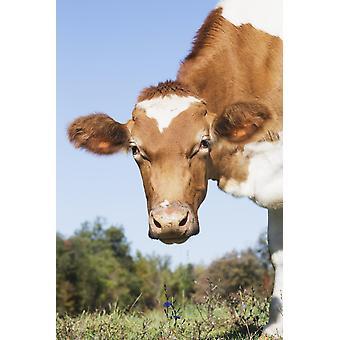 Гернси коровы Грэнби Коннектикут Соединенные Штаты Америки PosterPrint