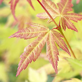 Japanese Maple Acer palmatum 'Orange Dream' in a 3L Pot