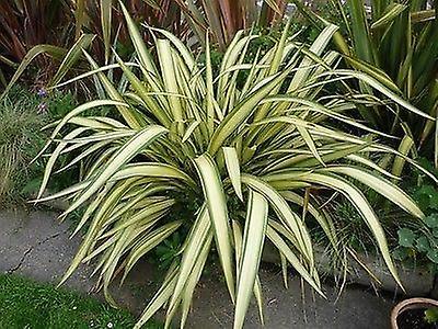 Phormium cookianum Cream Delight - New Zealand Flax, Plant in 9cm Pot