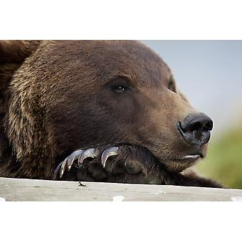 Captive Grizzly Bear Rests Its Head On A Log At The Alaska Wildlife Conservation Center Southcentral Alaska PosterPrint