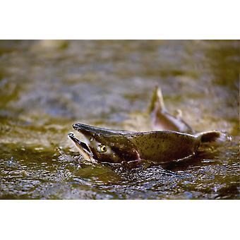 Розовый лосось, изо всех сил пытается вернуться к их нереста поток откладывают свои яйца Британская Колумбия Канада PosterPrint