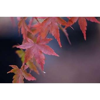 Japanese Maple I Poster Print by Rita Crane