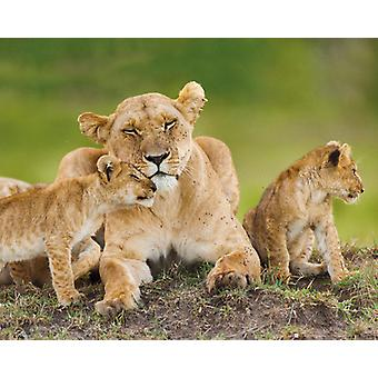Lioness And Cubs Poster Poster Print