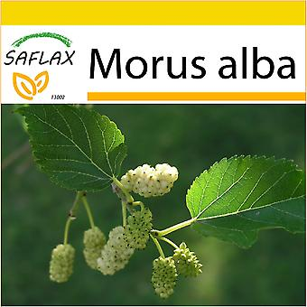 Saflax - Potting Set - 200 seeds - White Mulberry - Mûrier blanc - Moro bianco - Morera blanca - Weißer Maulbeerbaum