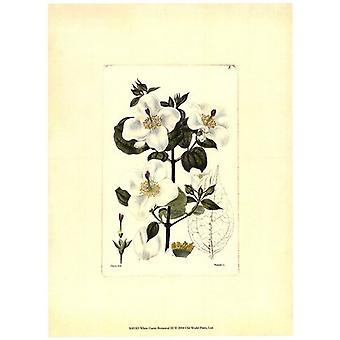 Blanco Curtis botánica III Poster Print Studio de visión (10 x 13)