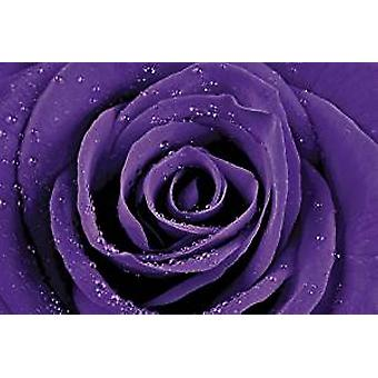 Poster - Purple Rose - 24