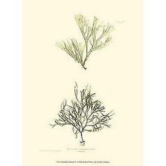 Seaweed IV Poster Print by Henry Bradbury (10 x 13)