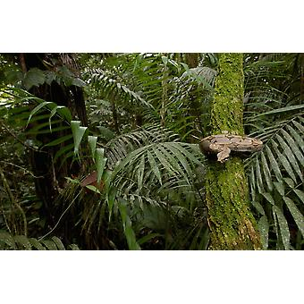 Boa Constrictor coiled around a mossy tree trunk in the rainforest South America Poster Print by Pete Oxford