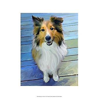 Sheltie the Eyes Have it Poster Print by Robert McClintock (13 x 19)