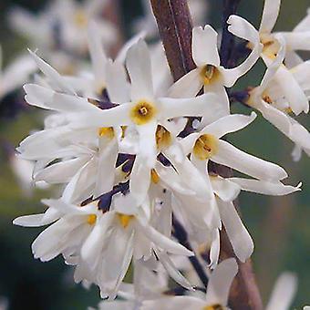 White Forsythia (Abeliophyllum distichum) Flowering Tree Shrub in 9cm Pot