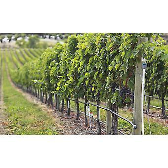 Wijnstokken op een wijngaard In de Okanagan Valley Osoyoos British Columbia Canada PosterPrint