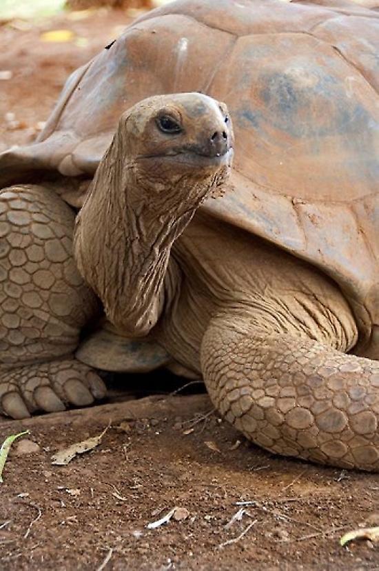 Seychelle Aldabran Land Tortoise Casela Park Mauritius Poster Print by Cindy Miller Hopkins