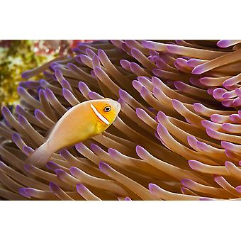 This common anemonefish Amphiprion perideraion is most often found associated with the anemone Heteractis magnifica as pictured here Yap Micronesia PosterPrint