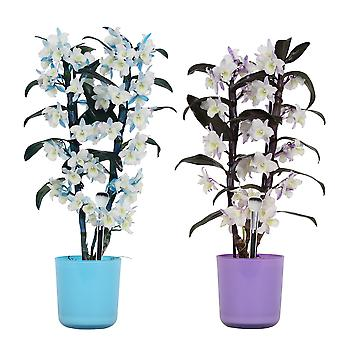 Botanicly - Orchids | 2 × Bamboo orchids blue & purple | Height: 50 cm | Dendrobium nobile