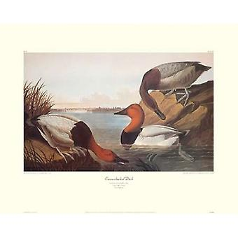 Canvas-Backed Duck (decorative border) Poster Print by  John James Audubon  (8 x 10)