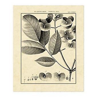 Vintage Botanical Study V Poster Print by Sellier (16 x 20)