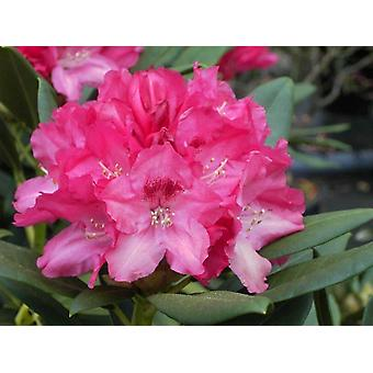 Rhododendron yakushimanum Sneezy  - Dwarf Rhododendron - Plant in 9cm Pot