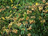 Cotoneaster rothschildianus