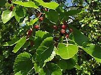 Morus alba - White Mulberry Plant in 9cm pot