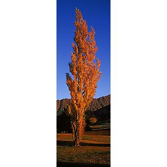 Poplar tree on Golf Course Queenstown South Island New Zealand Poster Print
