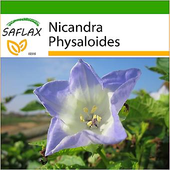 Saflax - 100 seeds - With soil - Apple of Peru - Pomme du Pérou - Nicandra - Belladona del país - Blaue Lampionblume